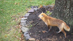 Eastern orange red fox in Virginia hunting squirrel on grass outside by tree Footage