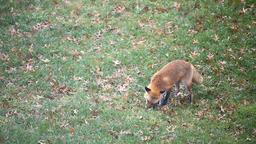 Eastern orange red fox in Virginia hunting killing squirrel animal on grass Footage