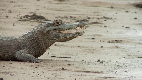 Alligator danger Live Action
