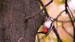 Close-up portrait of woodpecker on tree trunk battering the tree looking for Footage