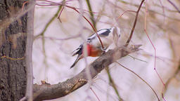 Portrait of woodpecker jumping from branch to branch battering the tree looking Footage