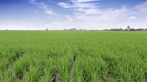Rice Paddy Fields in Sekinchan, Malaysia Footage