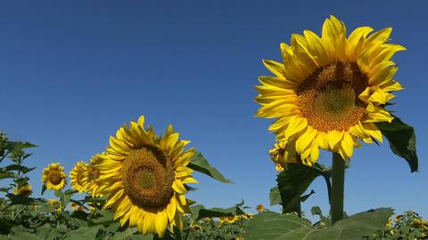 Endless fields of blooming sunflowers near Krasnodar. Russia Footage
