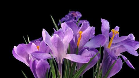 Tl crocus purple 01b 25fps 30s blabg 90q rgba Footage
