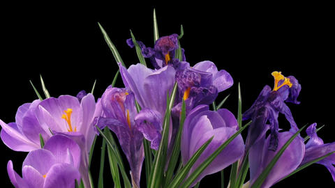 Time-lapse of dying purple crocus in RGB + ALPHA matte format Footage