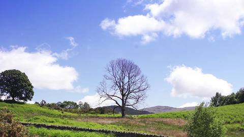 Lonely Dead Ash Tree Standing in a Field on a Summers Day Footage
