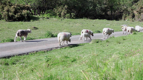 A Small Herd of Sheep Trotting Along a Country Path Live Action