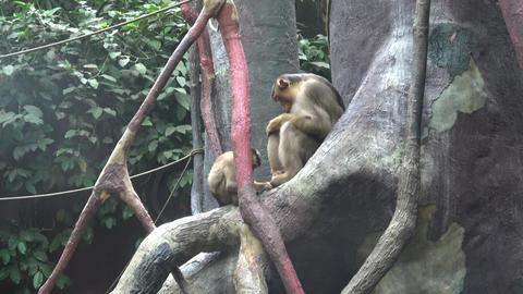 Two monkeys sitting on a tree branch Footage