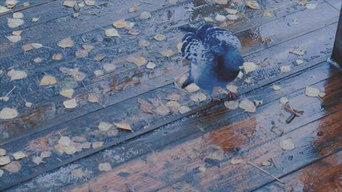 Dove walking around Footage