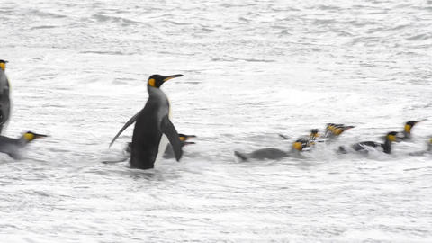 King Penguins at South Georgia Live Action