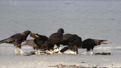 Turkey vulture in Falkland islands 영상물