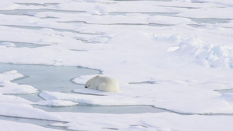 Polar bear lying on sea ice Live Action