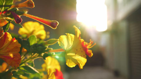 Blooming shrub against the sunlight Footage