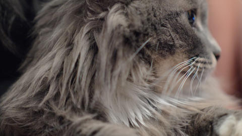 Fluffy cat relaxing with stroking Footage