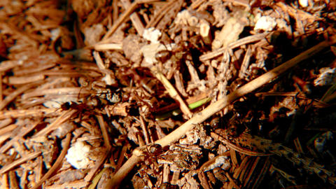 Red Ants on Anthill Footage