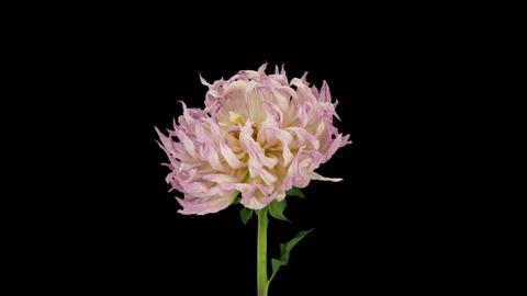 Time-lapse of dying pink dahlia flower with ALPHA channel Footage