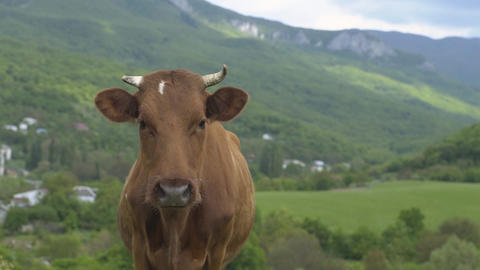 Cow Standing And Looking At Camera Footage