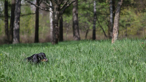 Playful, happy and funny Dachshund eating grass on nature Footage