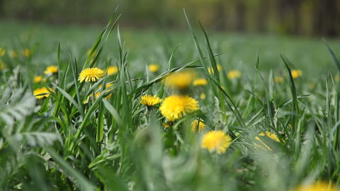 Field of Dandelions swaying on the wind Footage