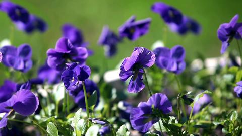 blue pansy flowers macro shot Footage