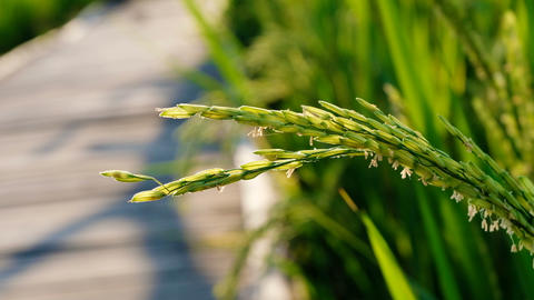 Close up Rice paddy field background in sunrise time, at chiang mai thailand, Footage