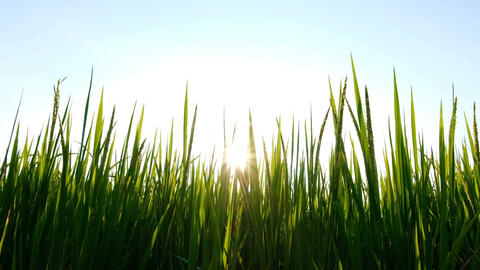 Silhouette Rice paddy field worms eye view landscape background in sunrise time, Footage