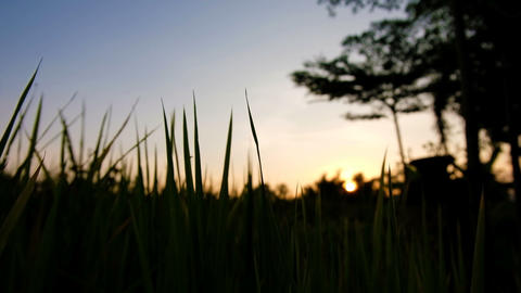 Silhouette Rice paddy field worms eye view landscape background with bug in Footage
