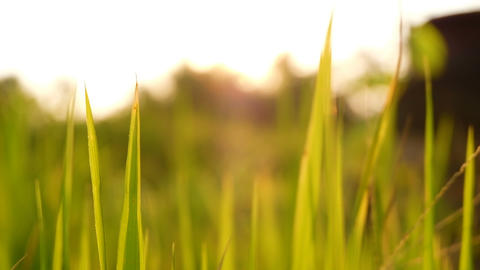 Rice paddy field landscape background in sunrise time, at chiang mai thailand, Footage