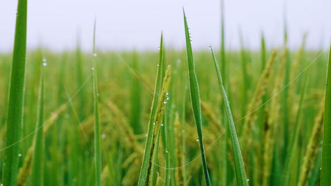 Rice paddy field with Droplet background in day time, at chiang mai thailand, Footage