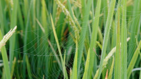 Rice paddy field with cobweb and spider background in day time, at chiang mai Footage