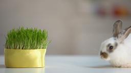 White furry rabbit walking floor, organic oat grass,... Stock Video Footage