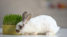 White furry rabbit walking floor, organic oat grass, vitaminized pet nutrition Live Action