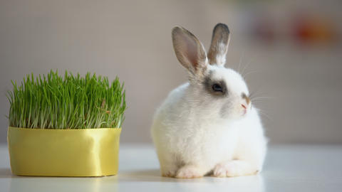 Adorable fluffy bunny sitting on table near green plant, herbal pet nutrition Live Action