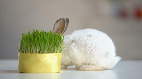 Cute fluffy bunny biting grass plant, organic pet nutrition, planet environment Live Action