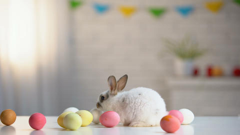 Playful furry rabbit sitting on table with colorful eggs, Easter symbol, holiday Footage