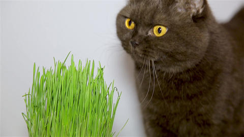 British breed of cat chocolate brown eats grass Live Action