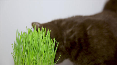 British breed of cat chocolate brown eats grass Stock Video Footage