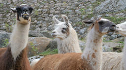 Portrait of llamas. Lama glama Live Action
