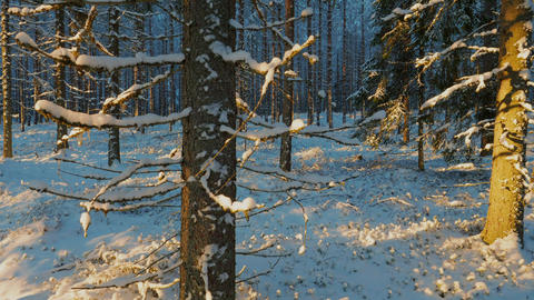 Snowy spruce forest in Finland, tilt shot Live Action