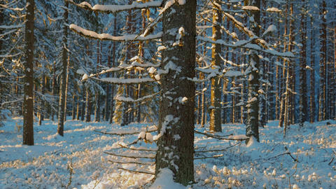 Spruce tree in snowy forest, tilt shot Live Action