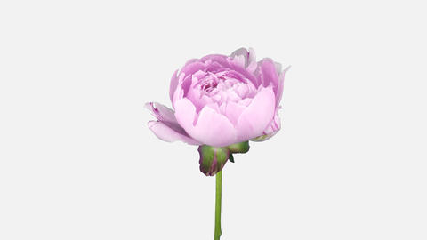 Time-lapse of opening and dying pink Peony flower, 4K with ALPHA channel Footage