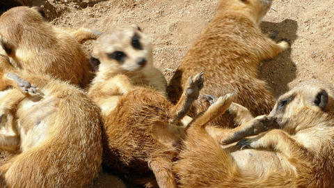 Meerkats resting Footage