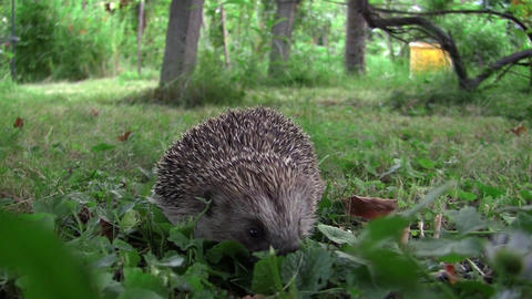 Forest Hedgehog who gather ball when danger approaches him 22 Footage
