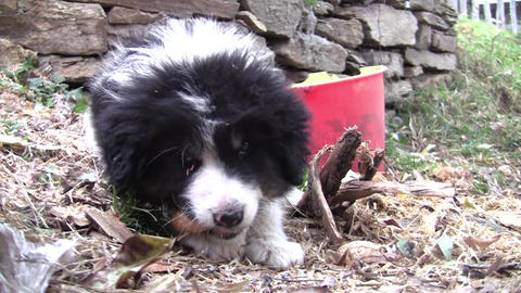 Puppy with black and white fur with difficulty chewing a piece of bread 12 Footage