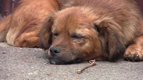 Dog with reddish fur that slumbers along the asphalt road and look surprised whe Footage