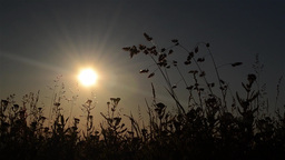 Dried herbs profiled on a sky with clouds illuminated by the sun at sunset 27 Footage