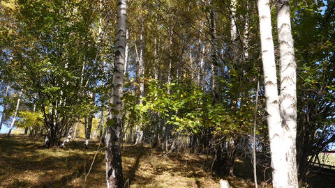 He climbs through the underbrush of birch trees whose leaves began to rust 62 Footage