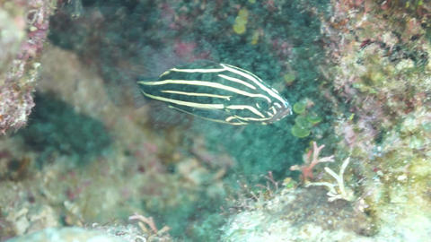 Goldenstriped Soapfish Footage