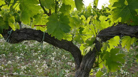 Vineyard Fields at Sunset Vine Closeup Footage