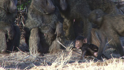 Baboon mother and her baby Footage